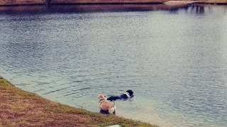 Two Dogs a Swimming