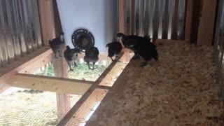 Rare Black Java chickens enjoying their new home outside!