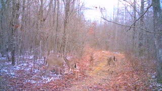 Does and yearlings in winter woods