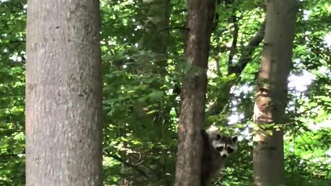 funny raccoon animal cute hairy
