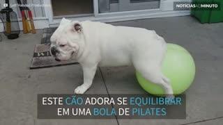 Buldogue adora se equilibrar em cima de bola