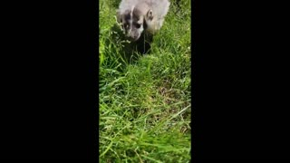 adorable baby badger inquisitively follows the camera