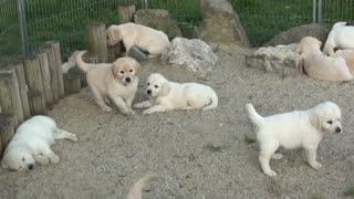 Golden dogs playing with their dads
