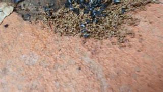 Australian Native Bee's non sting.