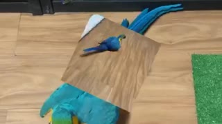 Moonwalking Macaw