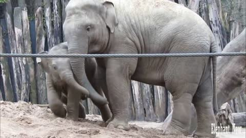 Little Elephant Has Fun Rolling On The Ground