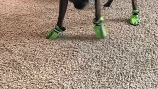 Hilarious Boxer in Boots!