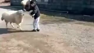 Sheep likes to play with little kid