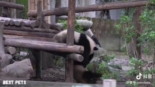 Panda funny video