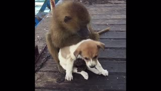 Young Baboon Adorably Grooms Puppy