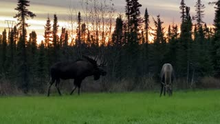 Bull Moose Trying to Attract Cow Moose