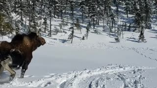 Rescuing a Moose Stuck in Deep Snow