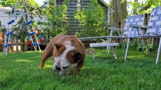 Just a Bulldog enjoying her stick