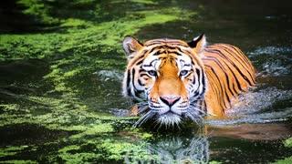 Tigers Mirage Theme 2