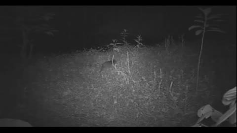 Cuniculus paca/Lapa/Paca