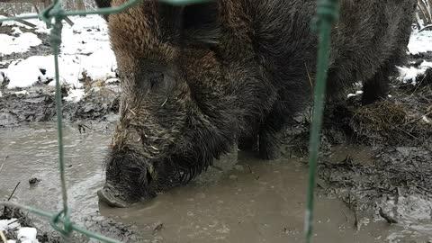Wild boar makes hilarious bubble
