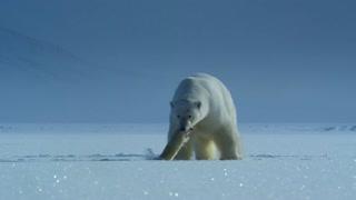 Polar bear takes a seal to eat