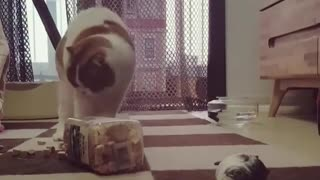 Cat Trying to get Her Food