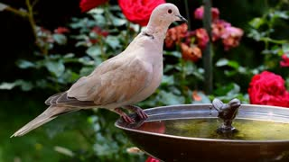 Female Dove Birds Drinks Water In Garden Weel