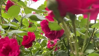 The rose's perspective from the bee