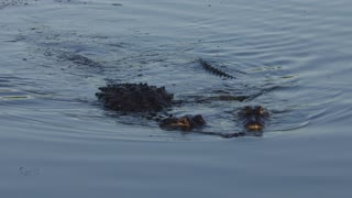 Florida Alligator Mating Ritual