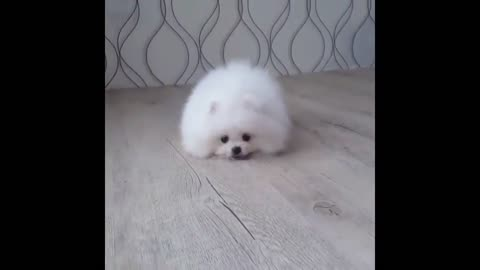 White Pomeranian Puppy Ball 2