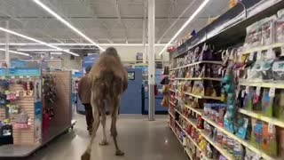 Man goes shopping in a pet shop - with his pet camel