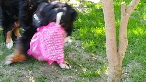 Bernese Mountain Dog loves playing with things that are not his toys