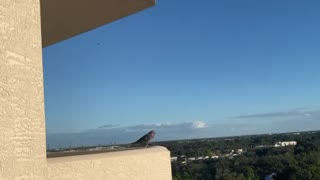 Pigeon in the lanai