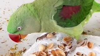 Mischievous Parrot
