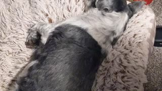 Dog snoring very loudly
