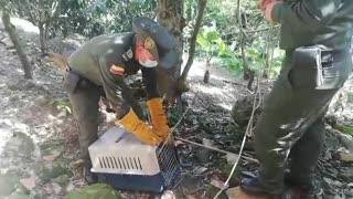 Rescatan a osa hormiguera asechada por varios perros en Santander