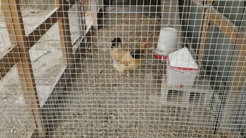 Buff the hen