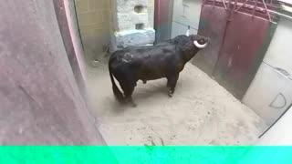 Very Dangerous Bulls Fight