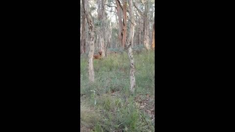 An Aussie Bushwalk with a Loyal Rhodesian Ridgeback