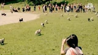 Cute pugs running around