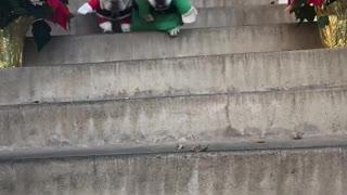 French Bulldogs dress as Santa & his little helper