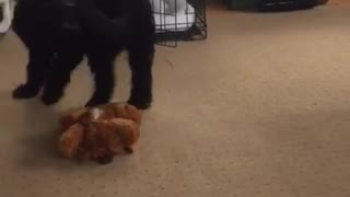 Black curly fur dog chase tail