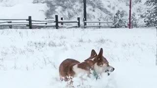 Corgi running through snow with brown dog