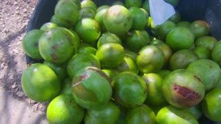 Green Star Apple