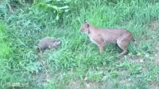Marmots fight against bobcats and would rather die than surrender