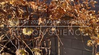 Backyard Vineyard January 2021 Update