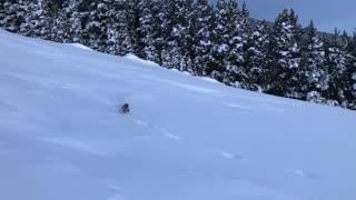 Pine Marten Chasing Bunny Through Thick Snow