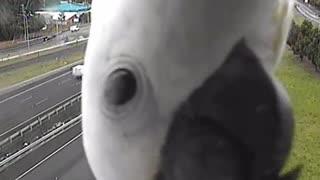 Curious Cockatoo blocks traffic camera in Queensland, Australia