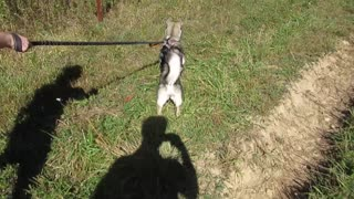 Husky puppy goes crazy trying to chase grasshoppers
