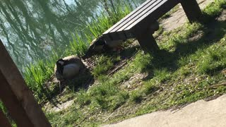 Nesting goose leers at ducks who decide to eat grass around her