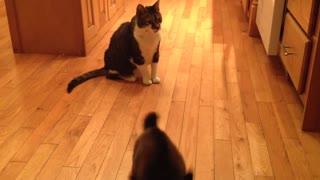 FOOLISH GOAT TRIES TO HEADBUTT GALLANT CAT