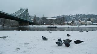 Gray Birds Picking Up Hiding Food Under Bridge