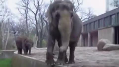 Elephant jump video