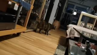 My Cat about Coronavirus. Or not?? Crazy Cat